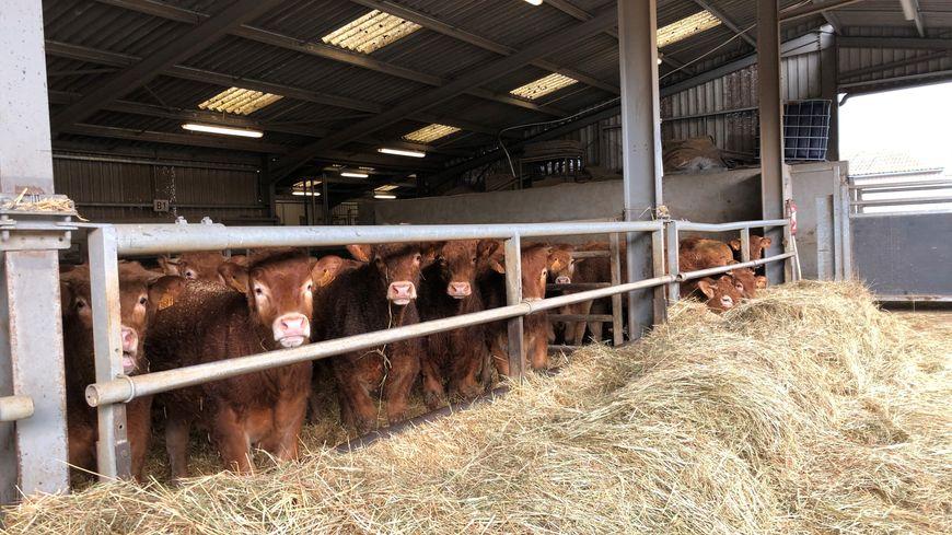 70% des éleveurs creusois exportent une partie de leurs bovins en Italie