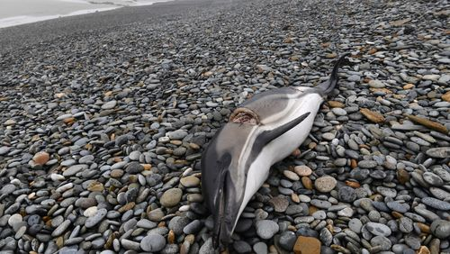 Pourquoi des centaines de dauphins s'échouent sur les plages de l'Ouest ?