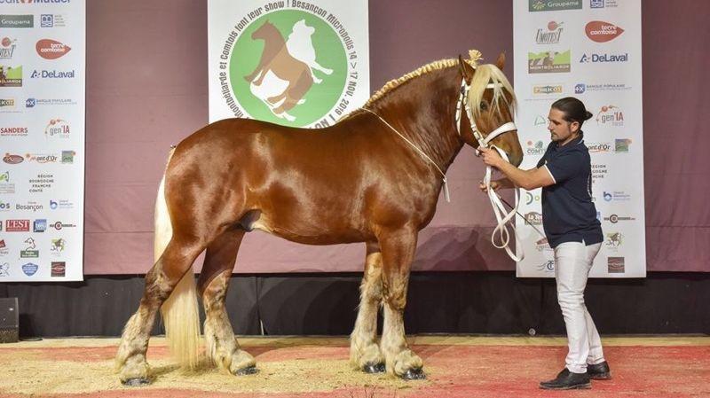 Médaille d'or pour Hip-hop, cheval comtois de Maîche au salon de l'agriculture