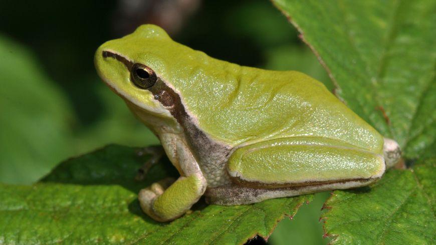 Une nouvelle espèce de grenouille observée dans la Loire
