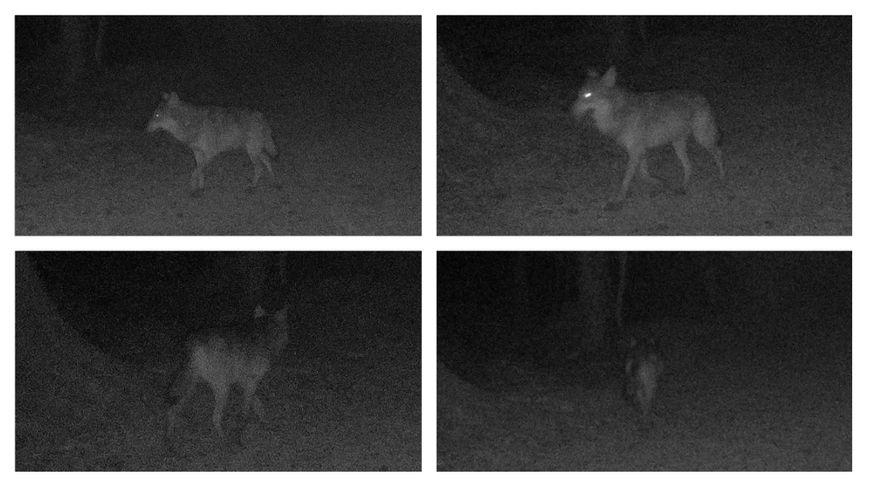 EXCLU Un loup photographié près de Neufchâtel en Bray