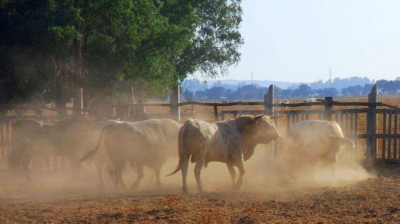 La crise du Covid-19 va affecter aussi très durablement les éleveurs de toros de combat en France