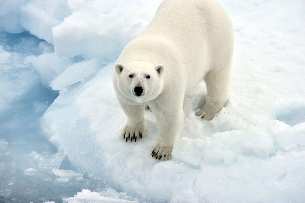 A la découverte de Nanuk, l'ours polaire... avec le photographe ...