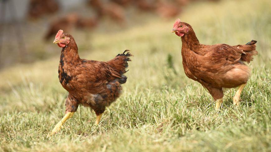Rochefort : une association de quartier de la Gélinerie s'est fait dérober ses poules
