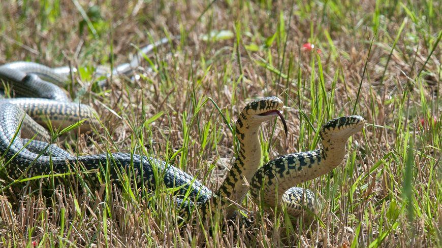Landes : les serpents de retour dans les jardins, le nombre d'appels SOS SERPENTS augmente