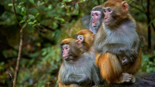Immunité et vaccin : le cas du macaque rhésus