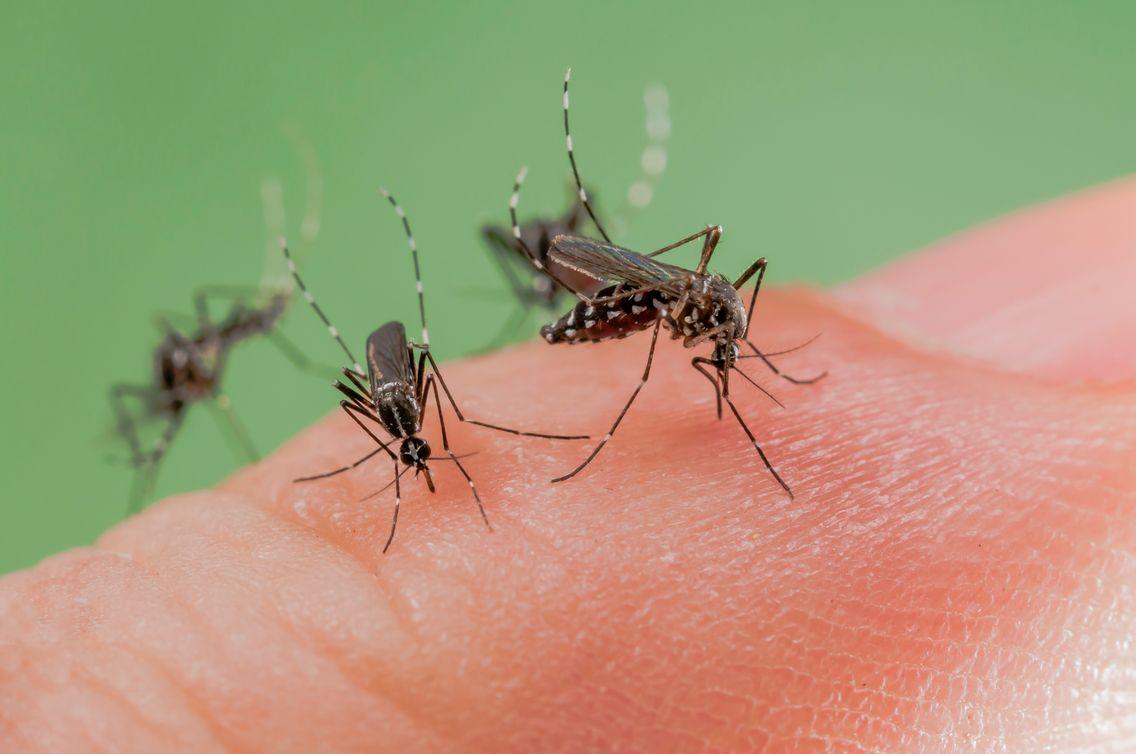 Le moustique tigre est reconnaissable par la présence d'une ligne médiane d'écailles blanches sur le thorax.