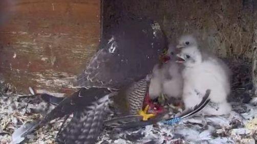 Un faucon pèlerion nourrit ses petits (Capture d'écran)