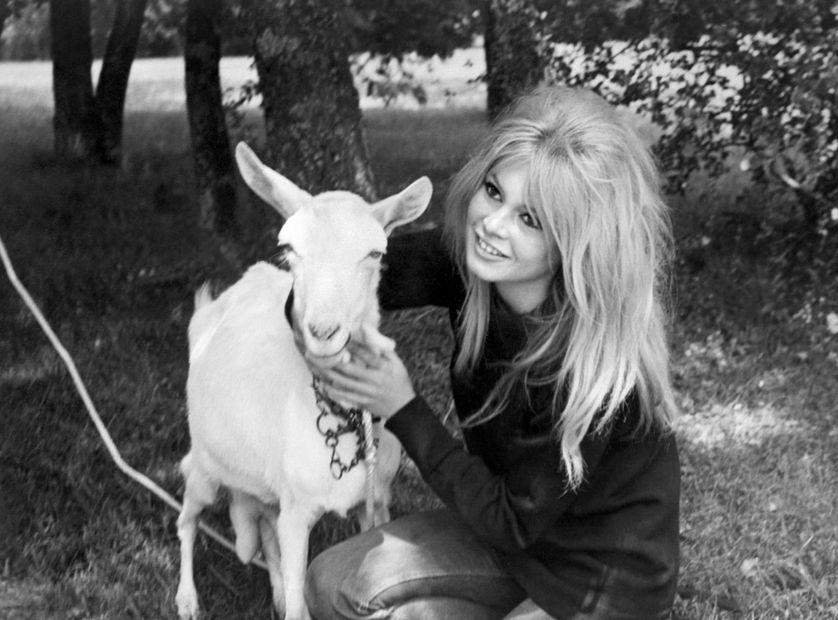 Brigitte Bardot a voulu sauver une chèvre sur le tournage de Colinot Trousse-chemise. Ici en 1975.