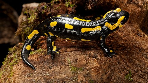 La salamandre à l'épreuve du feu