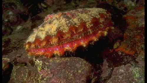 La coquille Saint-Jacques, un mollusque bien-aimé