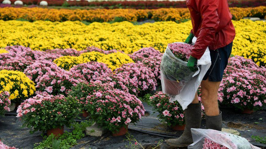 La Nouvelle Eco : les producteurs de chrysanthèmes tablent sur des ventes stables cette année