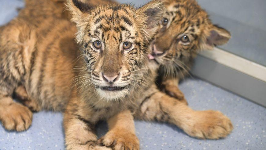 Ils Voulaient Acheter Un Chat Savannah Ils Se Retrouvent Avec Un Tigre