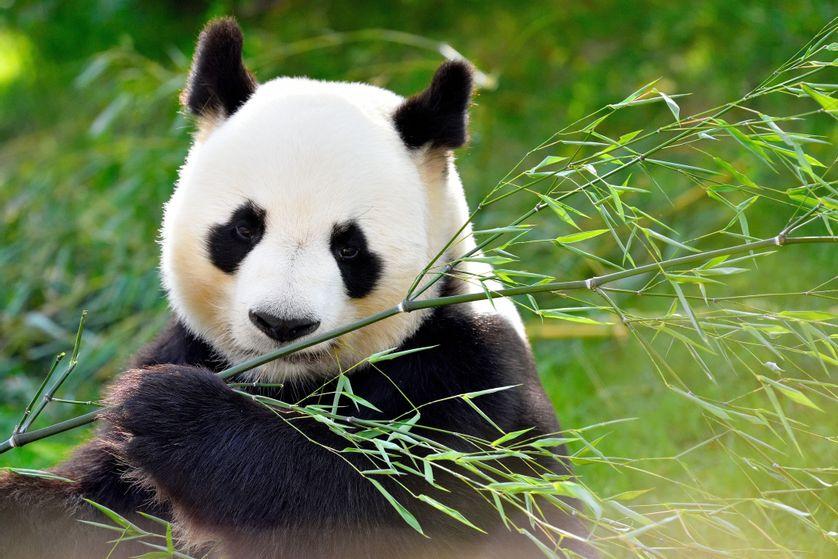 Le panda et le bambou