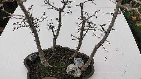 La forêt de bonsaï