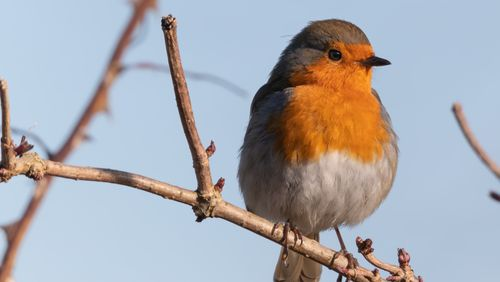 Un oiseau sanguin, le rouge-gorge