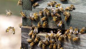 Une nouvelle technique mise au point par les abeilles pour se défendre des frelons géants.