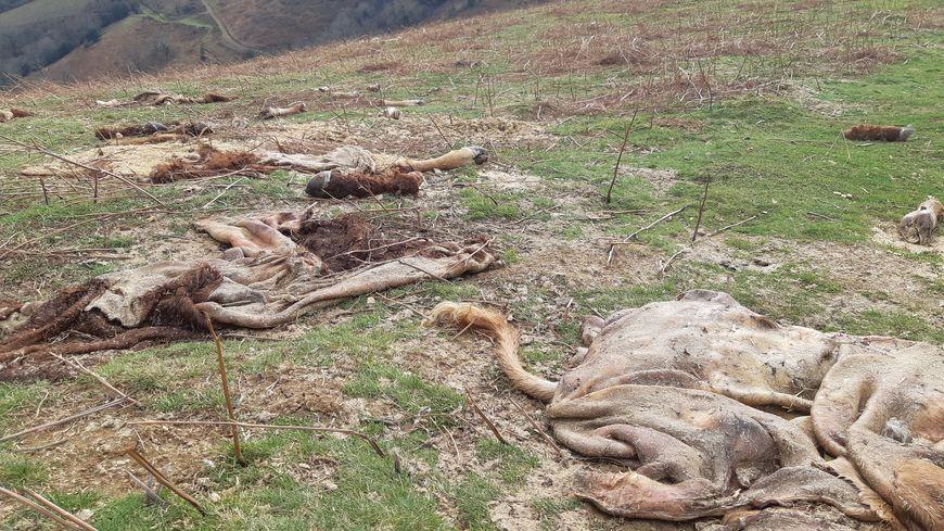 Pays Basque : trois betizu sauvages abattus et braconnés en pleine montagne