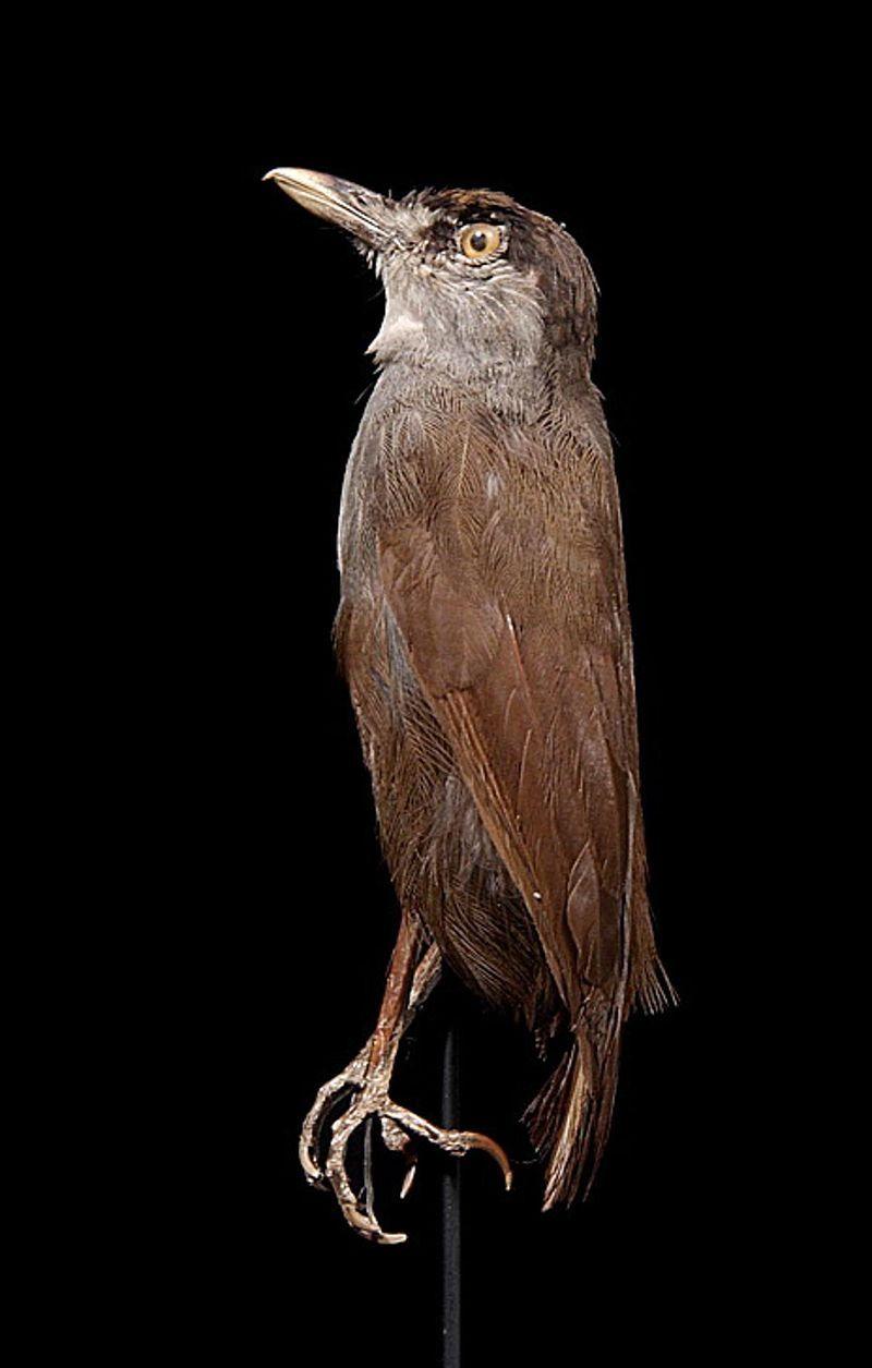 Le spécimen trouvé dans les années 1840 et exposé au Muséum national d'histoire naturelle des Pays-Bas. Les yeux sont artificiels, d'où l'absence de couleur rouge.