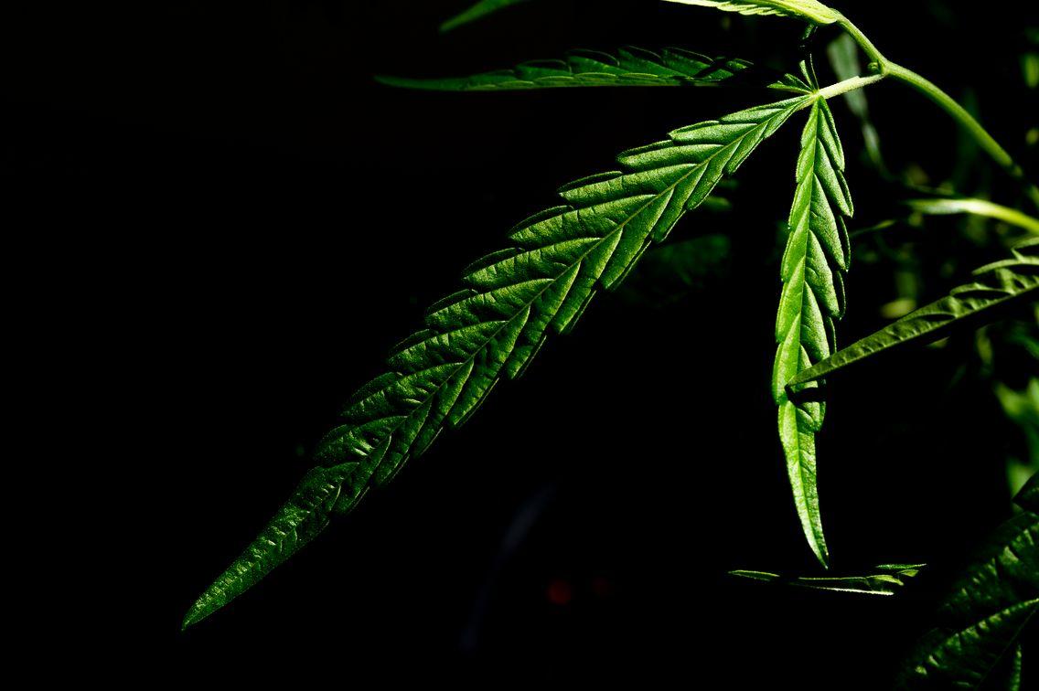 Légalisation du cannabis : où en est la France ?