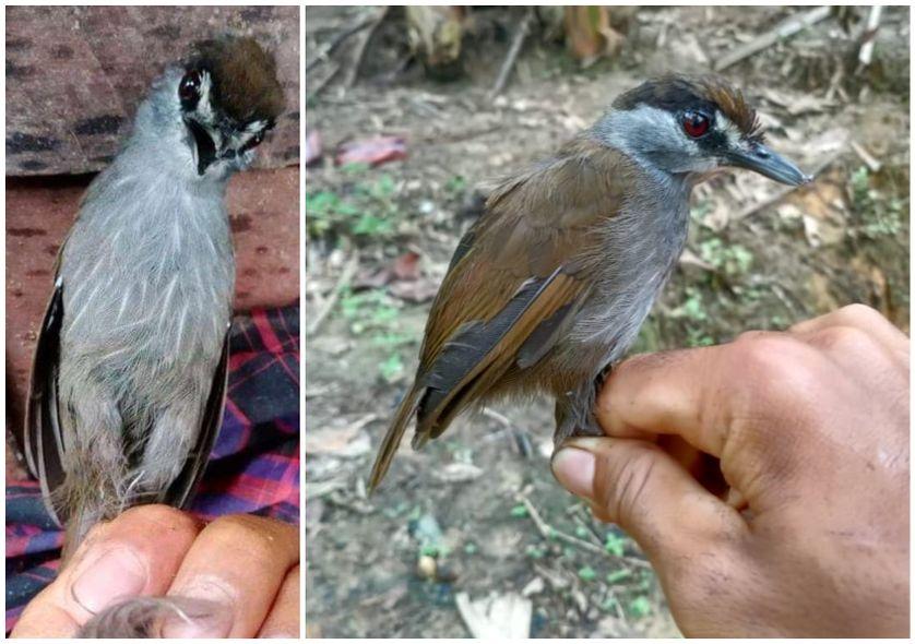 L'Akalat à sourcils noirs a été trouvé en octobre 2020 à Bornéo, a-t-on appris ce jeudi.