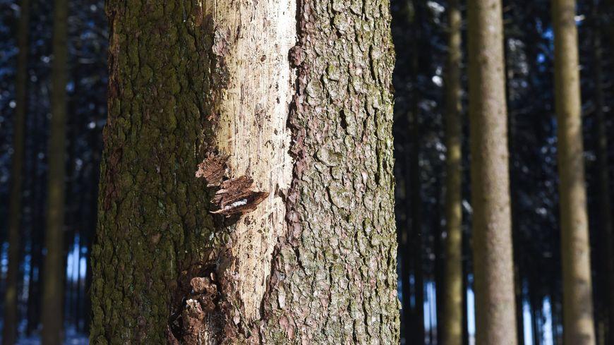 Photo d'illustration : arbres, scolyte