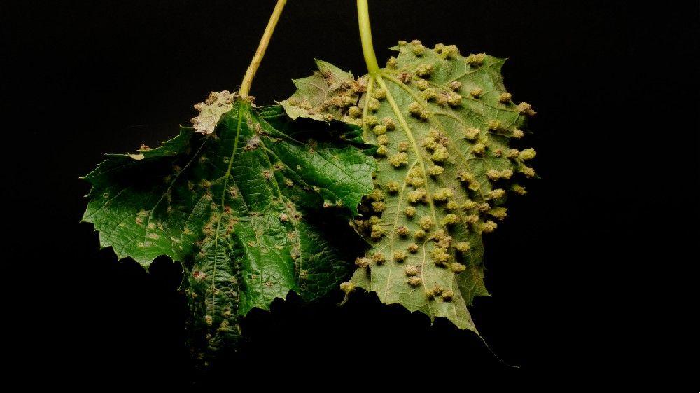 Des vignes porteuses de Phylloxera