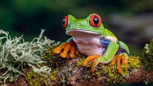 Bénitier et météo : la grenouille