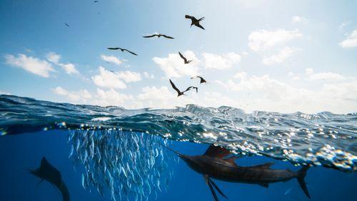 Sardine en boîte, sardine en mer