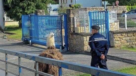Un lama devant la gendarmerie de Florac Trois-Rivières (Lozère)