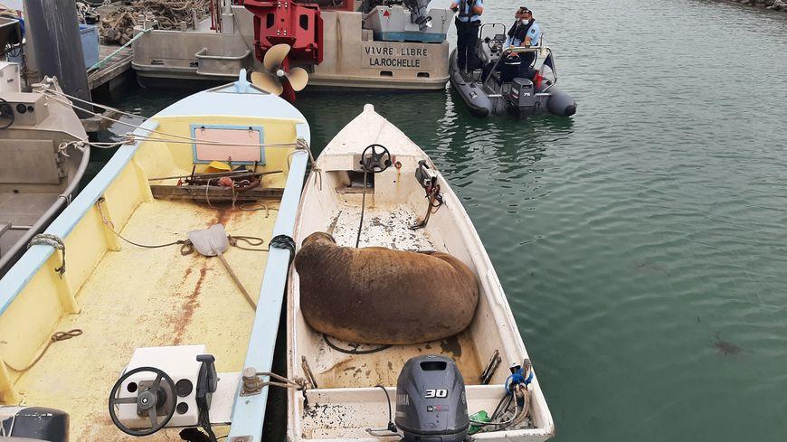 Le morse arrivé à La Rochelle vendredi après midi se repose dans le port de pêche de Chef de Baie