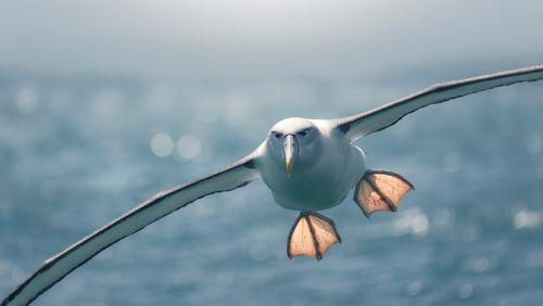L'albatros, l'espion venu des airs