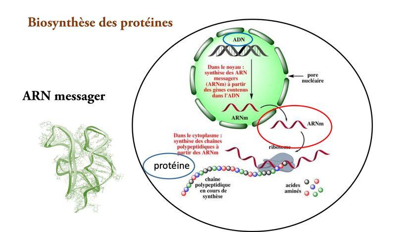 Schéma réalisé par Chantal Pichon représentant la transformation de l'ARN messager en protéine.