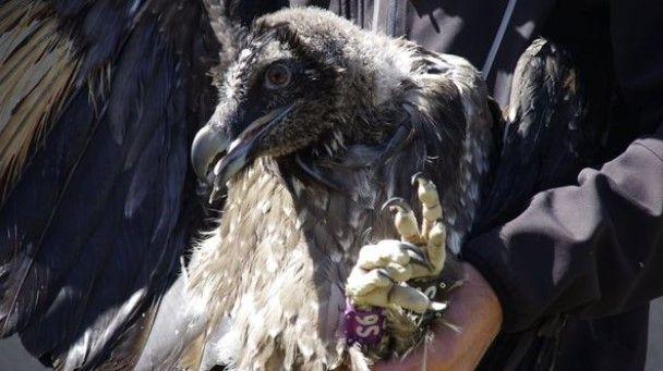 Angèle, le gypaète barbu réintroduit dans la Drôme, tué par une pale d'éolienne
