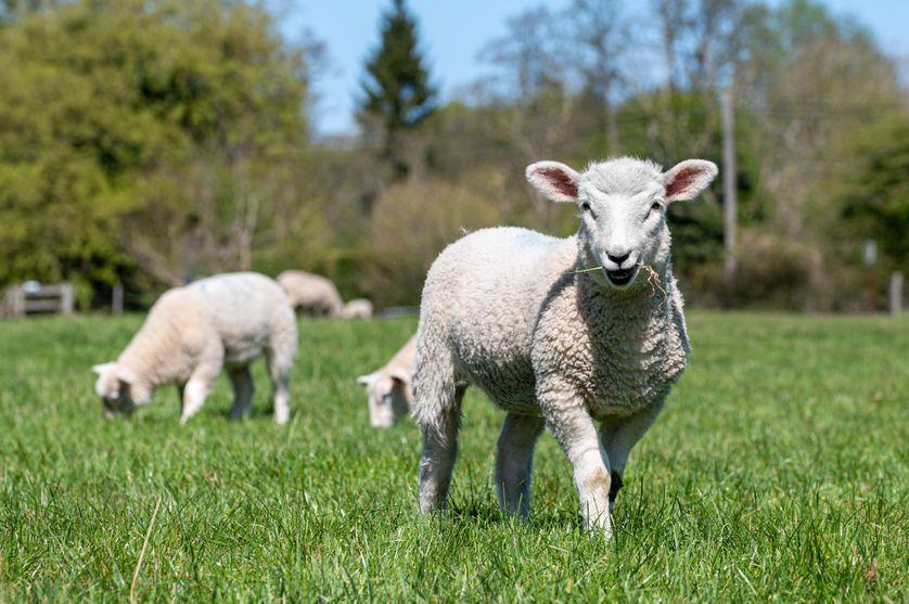 Un mouton, deux moutons, trois moutons