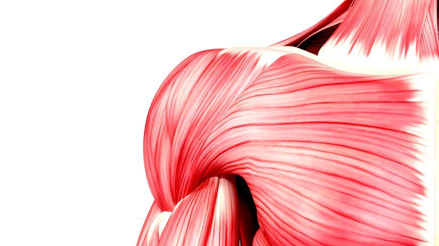 Les muscles permettent d'animer certaines parties du corps.