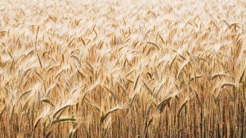 Le blé, un bien si fragile