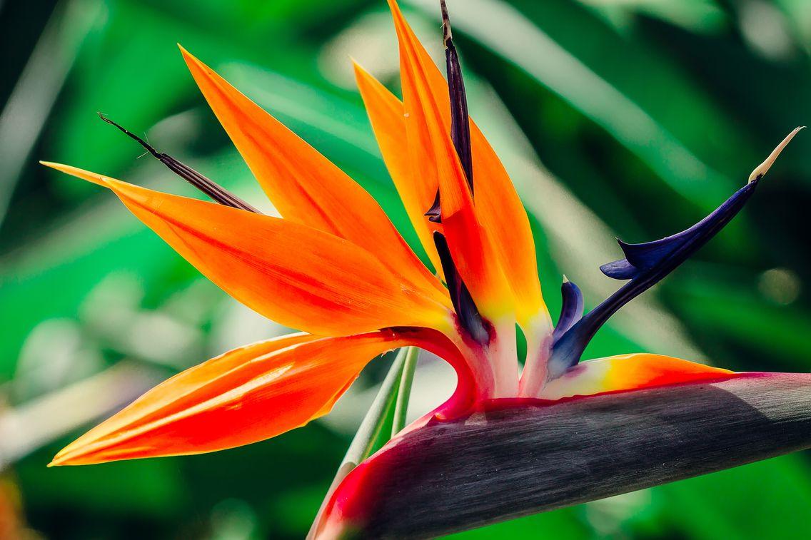 ici une fleur de Strelitzia reginae ou oiseau du paradis