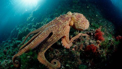 Pas mafieuse pour un sou, la pieuvre