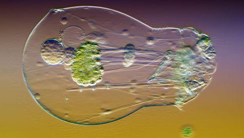 Des animaux microscopiques vieux de 24.000 ans reviennent à la vie
