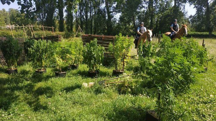 C'est la patrouille équestre des gendarmes des Deux-Sèvres qui a découvert les pieds de cannabis
