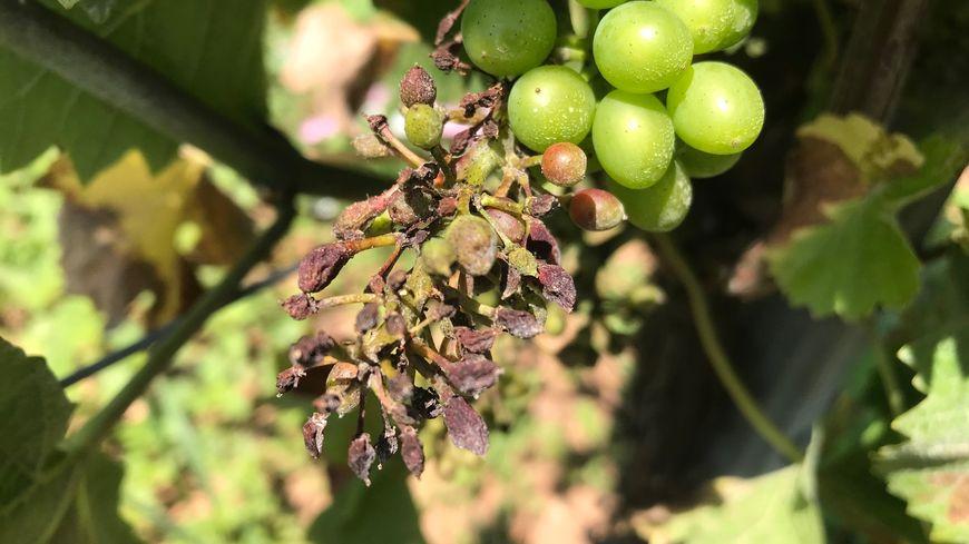 Alsace : le mildiou a fait d'importants dégâts, de grosses pertes attendues pour les vignerons