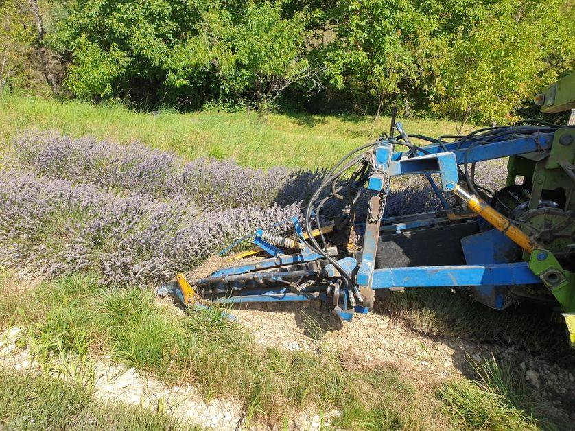 La lavande se récolte à partir de la fin juillet jusqu'à la mi août dans le sud de la France