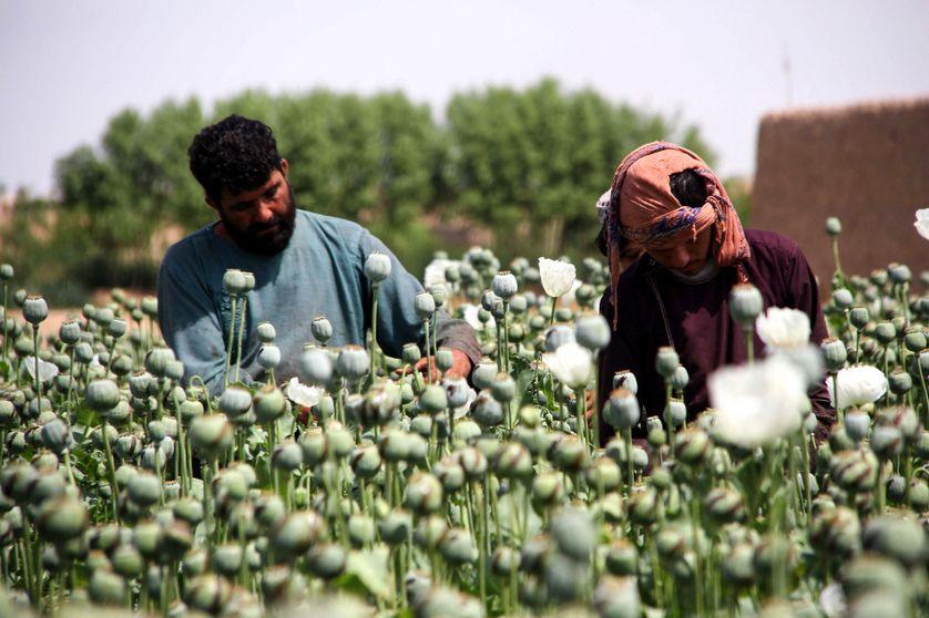 Les talibans relancent leur guerre contre l'opium