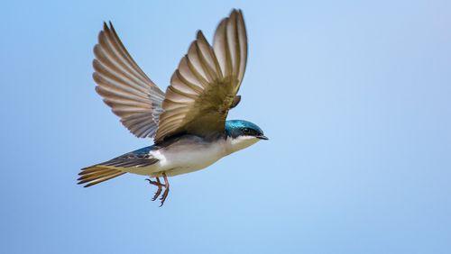 Comment les oiseaux ont-ils fait pour voler ?